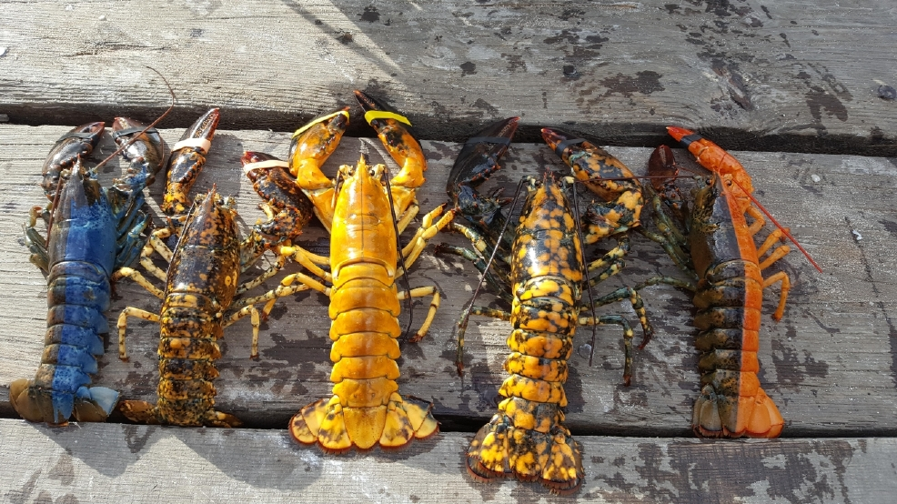 Rare yellow lobster caught off Maine coast | WGME