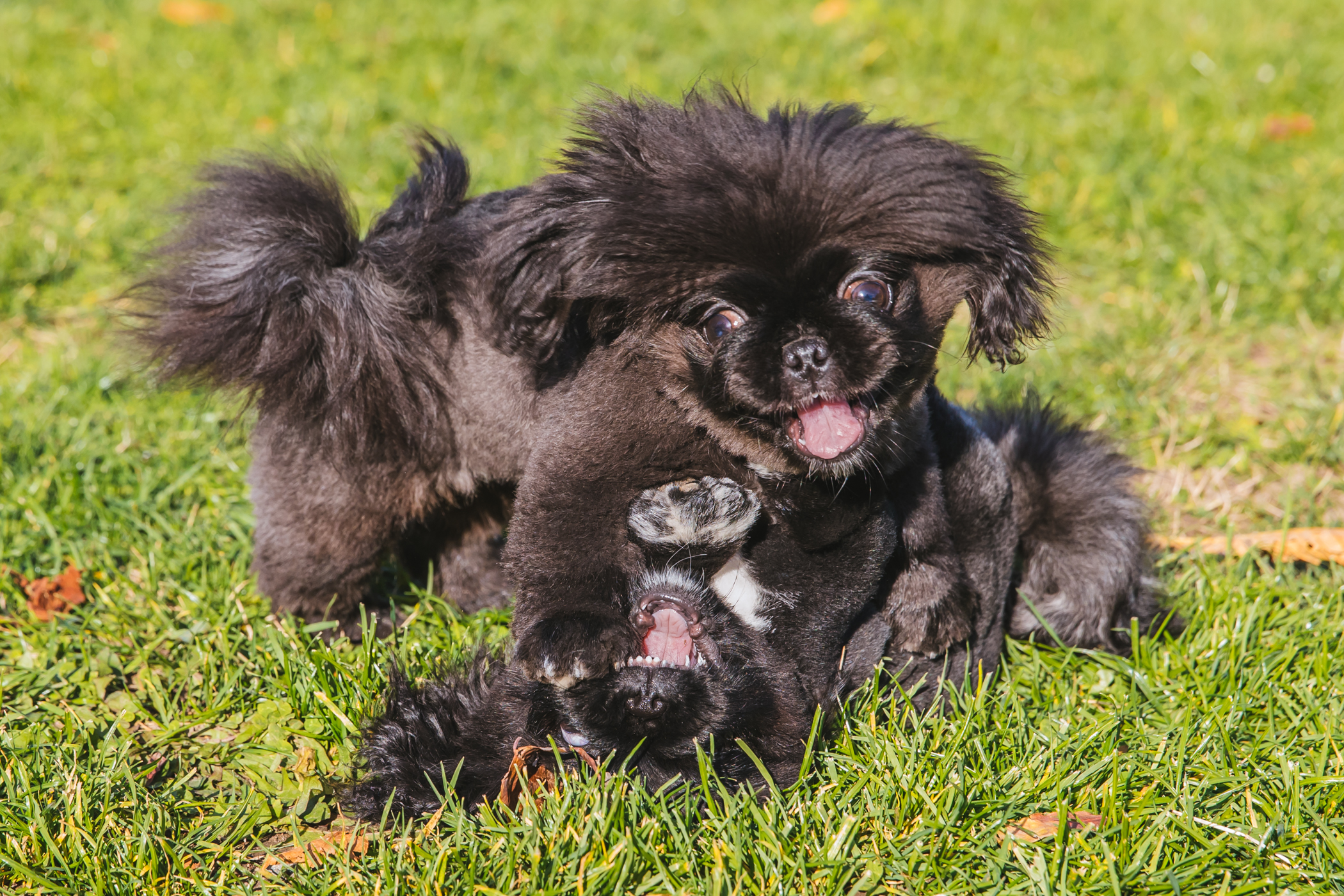 "Vivi and Theo and six-month-old Pekingese puppies, silly and playful one minute, then chill and lazy the next! The duo (Geminis, in case you were wondering) have never met a bed they didn't like. in fact, both have five beds each and will rotate through them every day. Their breed tends to be very stubborn and these two are no exception to that - they prefer to be carried everywhere and will only walk if given many treat incentives. You can follow their adventures on Instagram at{&nbsp;}<a  href=""https://www.instagram.com/vivi.and.theo/"" target=""_blank"" title=""https://www.instagram.com/vivi.and.theo/"">@vivi.and.theo</a>.<a  href=""http://seattlerefined.com/ruffined"" target=""_blank"" title=""http://seattlerefined.com/ruffined"">{&nbsp;}The RUFFined Spotlight</a>{&nbsp;}is a weekly profile of local pets living and loving life in the PNW. If you or someone you know has a pet you'd like featured, email us at{&nbsp;}<a  href=""mailto:hello@seattlerefined.com"" target=""_blank"" title=""mailto:hello@seattlerefined.com"">hello@seattlerefined.com</a>, and your furbaby could be the next spotlighted! (Image: Sunita Martini / Seattle Refined)"