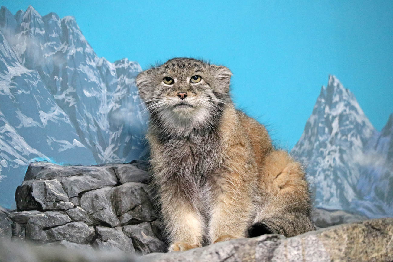 The Pallas's cat at the Cincinnati Zoo & Botanical Garden{ }/ Image: Larry Thomas // Published: 1.16.19