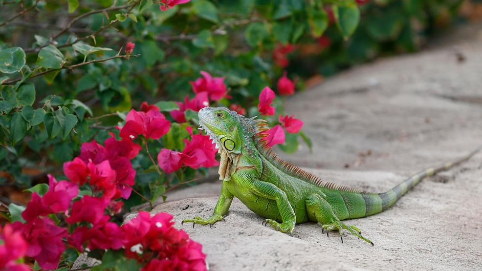 Florida encouraging people to kill green iguanas 'whenever possible' AP (2).jpg