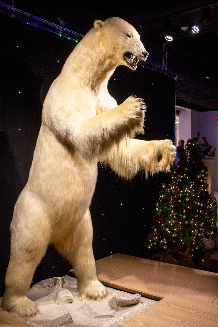 The museum's polar bear, Beary made his return, as well. He had been moved to the Downtown Cincinnati Library during the museum's reconstruction. / Image: Katie Robinson, Cincinnati Refined // Published: 11.8.19