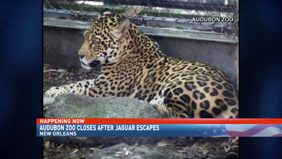 Jaguar Escapes New Orleans Zoo Habitat, Kills 6 Animals