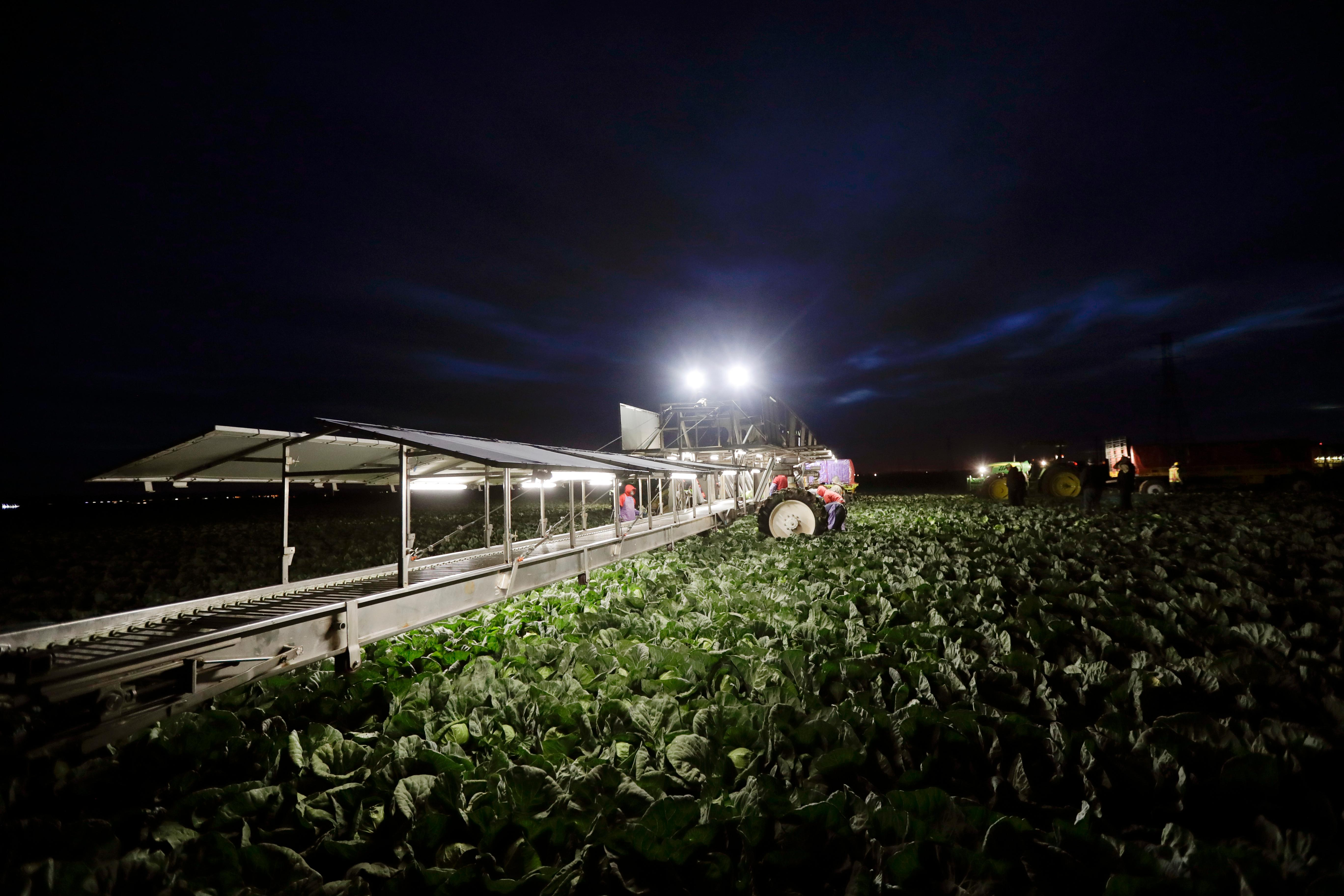 "In this March 6, 2018 photo, farmworkers harvest cabbage before dawn in a field outside of Calexico, Calif. For decades, cross-border commuters have picked lettuce, carrots, broccoli, onions, cauliflower and other vegetables that make California's Imperial Valley ""America's Salad Bowl"" from December through March. As Trump visits the border for the first time as president on Tuesday, the harvest is a reminder of how little has changed despite heated rhetoric in Washington. (AP Photo/Gregory Bull)"