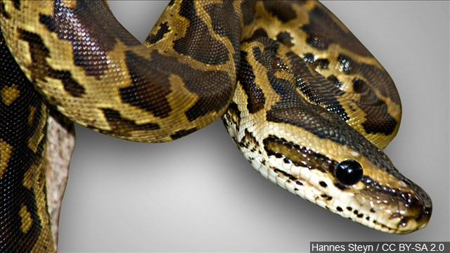 The Pythonidae, commonly known simply as pythons, from the Greek word python, are a family of nonvenomous snakes (Photo: MGN Online)