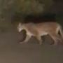Mountain lion caught on camera crossing the road in Oakhurst