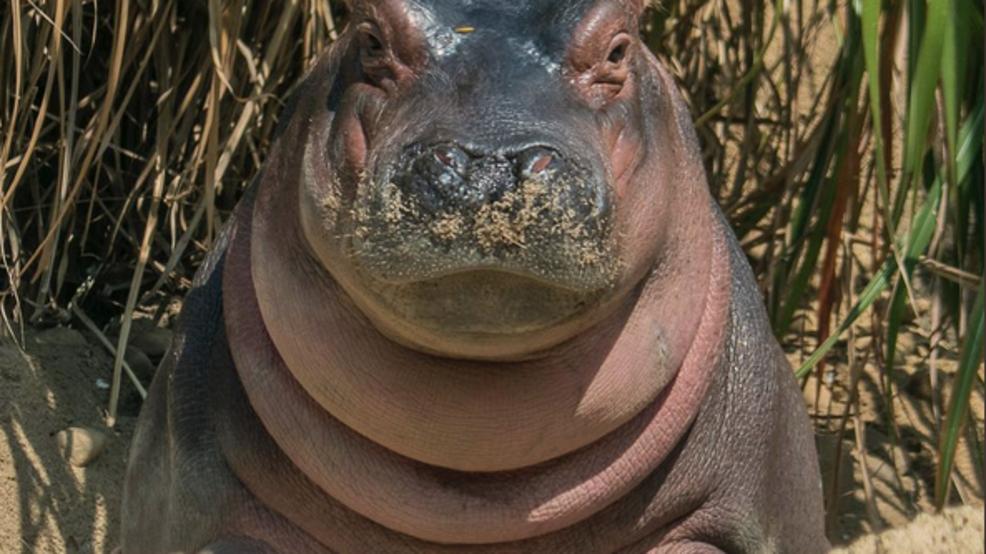 Cincinnati Zoo celebrates Fiona's 1st birthday