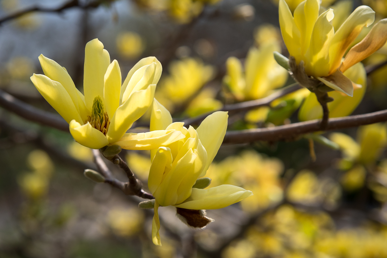 Spring is in the air at Ault Park. The 224-acre Cincinnati park currently features beautiful magnolia trees, flowering dogwoods, cherry blossom trees, pastel daffodils, purple hyacinths, and many other colorful spring flowers. Go see them while they're still in bloom! ADDRESS: 5090 Observatory Circle (45208) / Image: Phil Armstrong, Cincinnati Refined // Published: 4.14.19