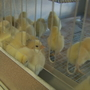 Hundreds of baby chicks die during shipment to Sanford
